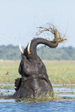 African Elephant feeding, Chobe River, Botswana Stock Images