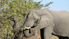 African elephant feeding stock video