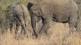 African elephant feeding stock footage