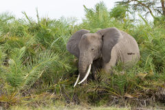 African Elephant feeding on Palms, Amboseli, Kenya Stock Image