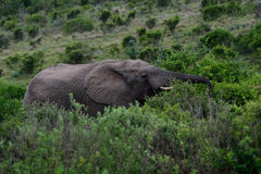 An African elephant Royalty Free Stock Image