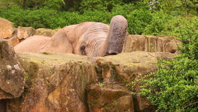 African Elephant feeding stock video