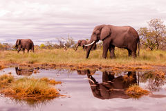 African Elephant feeding. Wild African elephant herd feeding in the savannah Royalty Free Stock Photo