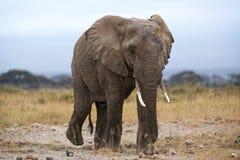 African Elephant. Female, Amboseli National Reserve , Kenya Stock Images