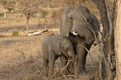 African Elephant female and calf Royalty Free Stock Photography