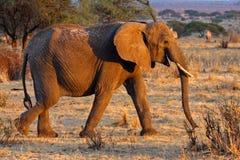 African elephant female, Tarangire, Tanzania. African elephant, Tarangire National Park, Tanzania, East Africa Royalty Free Stock Image
