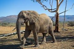 African elephant. Stock Photo
