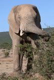 African Elephant Foraging Royalty Free Stock Photos