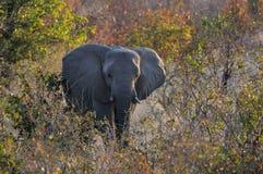 African elephant in the forest, etosha nationalpark, namibia. Loxodonta africana Royalty Free Stock Photos