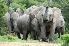 African Elephant Friends Stock Images