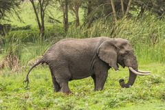 African Elephant. On the grass in Ngorongoro Crater, Ngorongoro Conservation Area, Tanzania. Africa. s are more famous for their long tusks. Here they are royalty free stock image