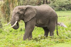 African Elephant. On the grass in Ngorongoro Crater, Ngorongoro Conservation Area, Tanzania. Africa. s are more famous for their long tusks. Here they are royalty free stock images