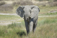 African elephant between grasses Stock Photography