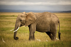 African elephant in grassland with cattle egrets Royalty Free Stock Images
