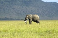 African Elephant in grasslands of Lewa Conservancy, Kenya, Africa Stock Photo