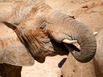 African elephant grazing. Royalty Free Stock Photos
