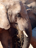 African elephant grazing. Close up of an african elephant grazing royalty free stock photo