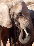 African elephant grazing. Close up of an african elephant grazing stock photography