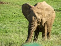 African elephant grazing. African elephant alone grazing grass with the trunk on a green meadow stock image