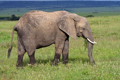 African elephant grazing, Masai Mara Royalty Free Stock Photography