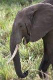 African elephant grazing. In the Masai Mara Kenya stock images