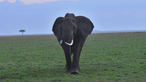 African Elephant Grazing Plains. A lone Elephant grazing the plains of Africa Stock Photography