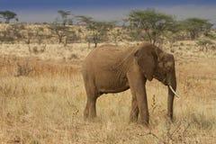 African elephant grazing in Samburu reserve. African elephant grazing on savannah in Kenya game reserve Samburu Royalty Free Stock Photography