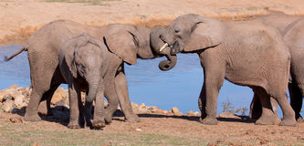 African Elephant Greeting Royalty Free Stock Photos