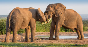African Elephant Greeting Stock Image