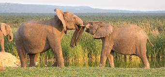 African Elephant Greeting Stock Images