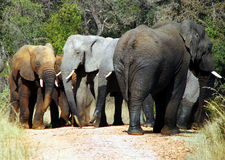 African elephant group. Group of African elephants after bathing and mudbaths all in different colours of the African soil royalty free stock photos