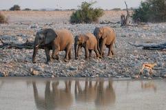 African elephant group run to the waterhole, etosha nationalpark, namibia Stock Images