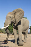 African Elephant with hat Stock Image