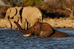 African elephant have a bath, etosha nationalpark, namibia. Loxodonta africana Stock Image