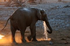 African elephant have a drink, etosha nationalpark, namibia. African elephant have a drink at sunset,  etosha nationalpark, namibia, loxodonta africana Stock Images