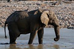 African elephant have a mud bath, etosha nationalpark, namibia Stock Photo