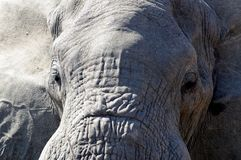 African elephant head only Royalty Free Stock Photo
