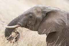 African Elephant head Royalty Free Stock Images