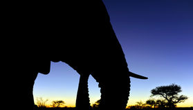 African elephant head - close up at sunset Stock Images