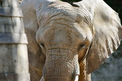 African Elephant Head Closeup Loxodonta Africana. Portrait royalty free stock image