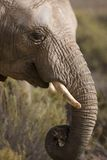 African Elephant head & curled trunk Royalty Free Stock Photography