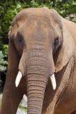 African Elephant Royalty Free Stock Image