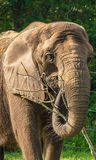 African Elephant head. Royalty Free Stock Photos