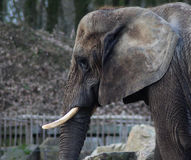 African elephant head. African elephant walking and eating in his enclosure. Foto taken in ouwehands zoo in Rhenen Stock Photography
