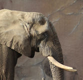African elephant head Royalty Free Stock Photography