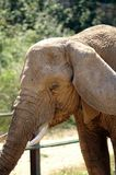 African elephant head at the zoo royalty free stock photography