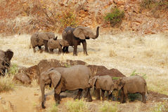 African Elephant herd. Walking, some with raised trunks, in African landscape. Picture was taken in Kruger National Park Royalty Free Stock Image