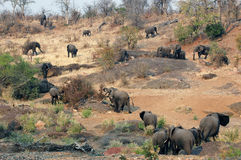 African Elephant herd. Walking in African landscape. Picture was taken in Kruger National Park Stock Photo