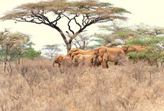 African Elephant Herd. A herd of african elephants in kenya Royalty Free Stock Photo