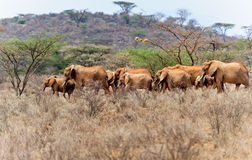 African Elephant Herd. A herd of african elephants in kenya Stock Image